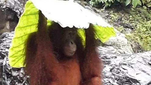 猩猩捡叶片和塑料袋遮雨 聪明之举引网友惊叹