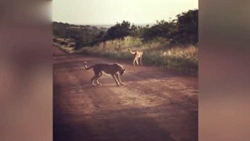 有趣!南非两只猎豹用石头代替足球进行比赛
