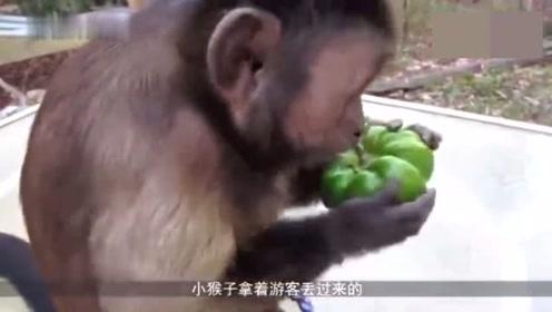 """猴子吃完辣椒后瞬间""""失了智"""",场面一度混乱接近失控"""