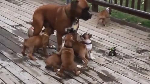狗爸带孩子,狗宝宝吵着要喝奶,这可愁坏了狗爸:我上哪弄奶去!