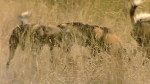 野狗们没有出去觅食,只是奔跑在草原上,相互追逐玩闹!