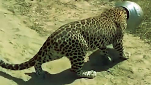 厉害了!豹子喝水把头卡进罐子里,笑坏路人!