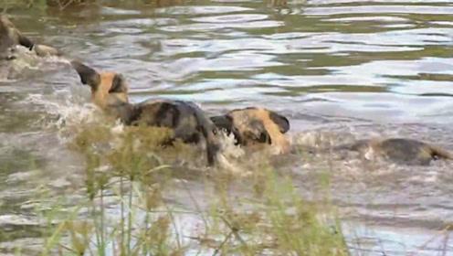 野狗们找到了水源,它们扑进了水中,在水中愉快打闹!
