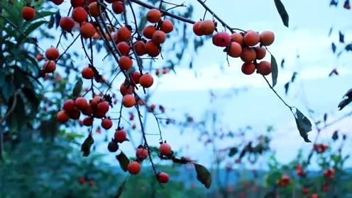 美食李子柒:诗一般的田园生活,沙鸥径去鱼儿饱,野鸟相呼柿子红!