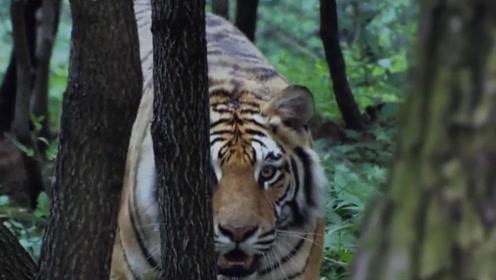 狮子是否比老虎厉害?古代皇帝做了个实验,结果有点出乎意料!