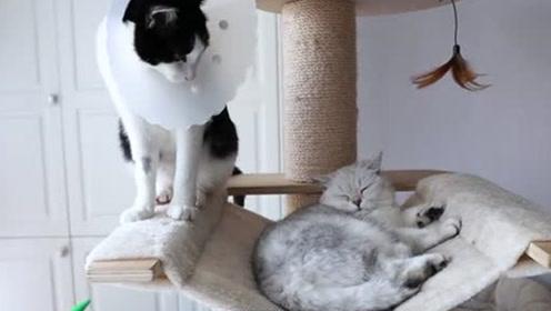 家里猫大哥腿受伤 老二立马用屁预谋篡位!