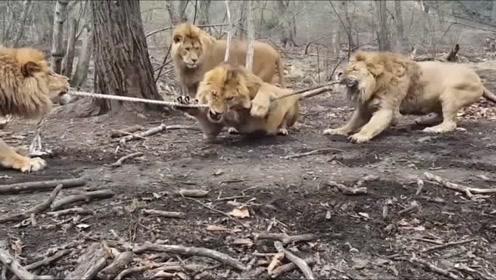 一群狮子拔河是怎样的场景?感觉突然被萌到