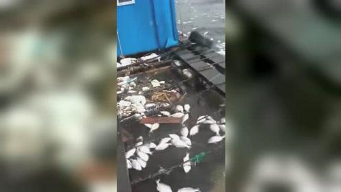 福建海域发生赤潮 海面密密麻麻漂满死鱼