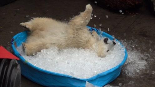 饲养员给小北极熊,准备了一大盆冰块,小家伙看到后玩疯了!
