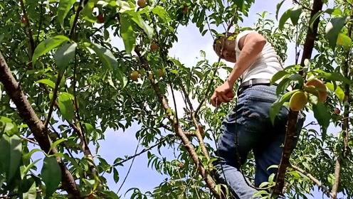 农村小伙在自家地里摘桃子,这满树的果子,看着就过瘾!