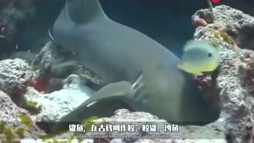 鲨鱼错把船当成了猎物,直接卡在的船上,镜头记录精彩片段