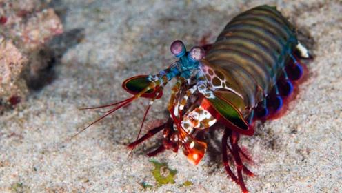 为什么螳螂虾这种海洋生物,会被人们称之为动物界的拳王呢?