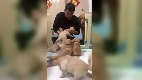 金毛:小狗狗不能吃馒头,你不知道吗