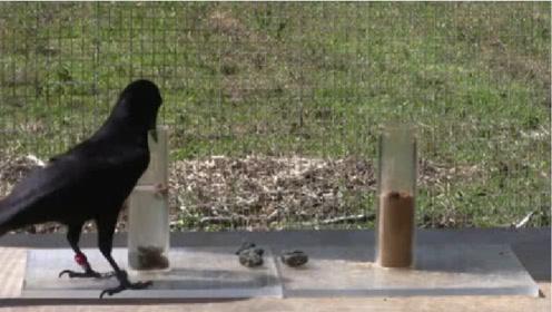 乌鸦真的会用石头喝水吗?老外测试后,让人意想不到!