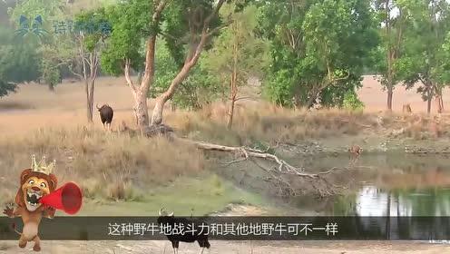 老虎正在河边喝水,突然觉得身后有点不对,回身撒腿逃跑!