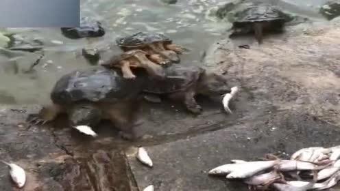 小乌龟刚咬了条大鱼,接下来的一幕直接把我看呆了,看完不许笑