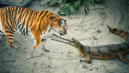 鳄鱼和老虎打架,老虎小子,别以为你能打赢我这个百兽之王