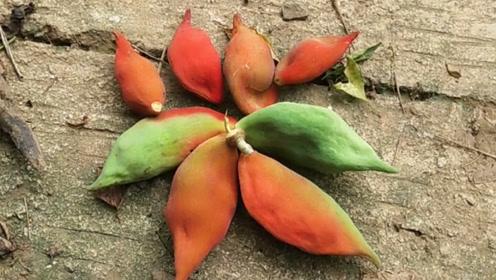 农村这种野果,要剥掉九层皮后才能吃到里面的果肉,你有吃过吗?