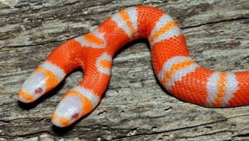 """6种""""基因突变""""的神奇动物!双头蛇短脖狗了解一下!"""