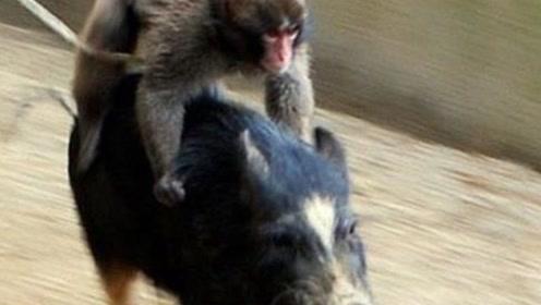 非洲大叔训练猴子捉野猪,看见野猪就放猴子,镜头拍下全过程