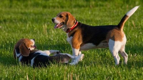 12种适合居家的狗狗排行,前6名出炉!看看你家狗子在榜吗