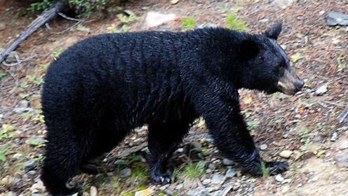 黑熊大战野猪,黑熊全程被碾压,完全没有翻盘的希望