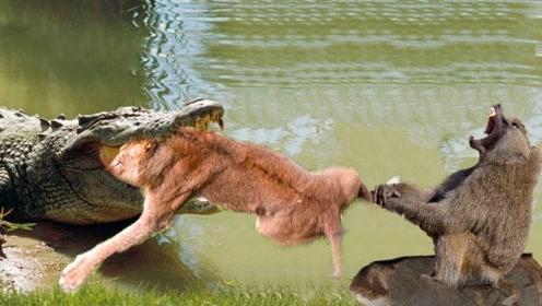 两头狮子过河,却惨遭鳄鱼拖入水底活吞,不料场面太过残忍!