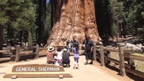 世界第一巨树,高144米树龄高达3500年,至今没能拍下全身