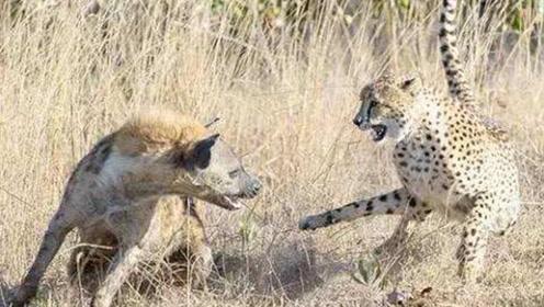 鬣狗抢猎豹的食物,猎豹吓的撒腿就跑,网友:草原土匪不是白叫的