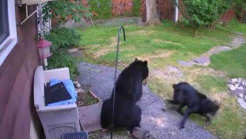 居民家后院闯进大黑熊 邻居英勇黑狗赶到现场把它吓退