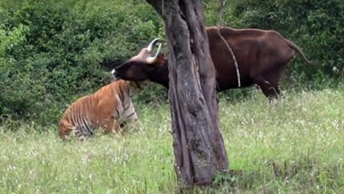 藏在密林中的野牛,被老虎一口咬住拖了出来,野牛不甘心得挣扎!