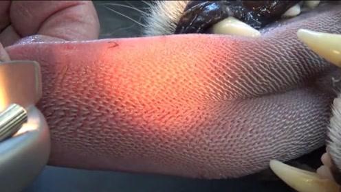 猎豹舌头舔人会掉皮?老外亲身试验 看完才知道有多厉害