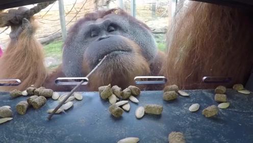 大猩猩为了吃容器内的瓜子,竟想出这个办法,人们自愧不如!