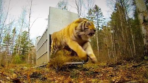 放虎归山的那一刻,才知老虎有多厉害,这气场才配得上百兽之王