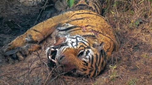 村民发现一只怪异死老虎,兽医大胆解剖,肚子里的东西吓退众人!