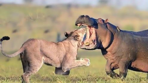 河马咬一口就致命!狮群vs河马,太精彩了