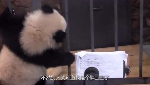 熊猫团子为不让自己体重泄露出去,想要消灭证据,还能再可爱点不