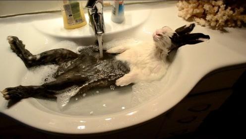 主人给兔子洗澡,中途出去接了个电话,回来时看到哭笑不得的一幕