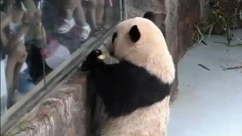 熊猫捡到一个苹果,慌忙拿到人类面前炫耀,结果被二货一口吞了!