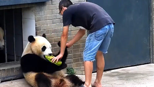调皮熊猫与饲养员上演抢鞋大战,熊猫: 欲从此路过,留下跑步鞋