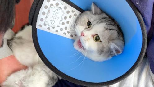 带短腿猫去医院绝育,针还没扎到就嗷嗷叫?主人一头黑人问号
