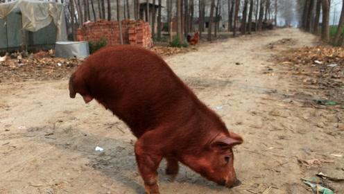 大爷养两条腿的猪,有人出价20万元都不卖,被网友称为猪坚强!
