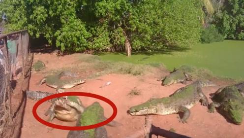 鳄鱼误将同伴的手当做食物,直接来一个死亡翻转,镜头拍下全过程