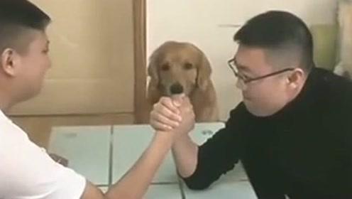 聪明的金毛,看主人掰手腕快输了,狗狗立马上去帮忙!