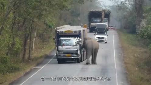 大象拦截过往大货车,只为吃一根甘蔗,司机这举动太暖心
