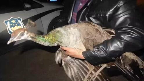 一位农民疑似捡神鸟凤凰,把它抱进派出所,全体民警却不淡定了!