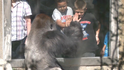 小男孩一个动作惹怒大猩猩,结果猩猩一拳把玻璃打碎了,太惊险了