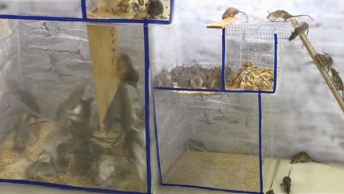 一种新型捕鼠器,用雏鸡引诱老鼠进入陷阱,最后让老鼠坠入深坑