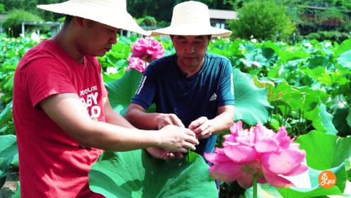 大叔研究荷花30年,培育出多个品种,一年四季都可以让荷花开放