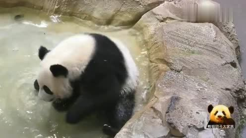 熊猫圆梦在池子里戏水,啃啃挠挠耳朵,可爱得一塌糊涂